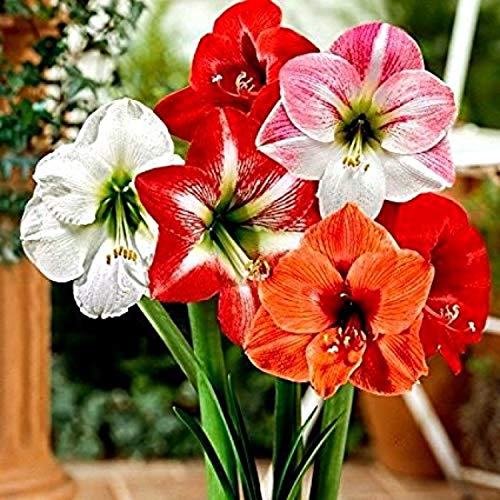 Kraft Seeds AmrayllisLily Super Size Extra Big Healthy Super Quality Rare Size Bulb Mix of Vibrant True Lily Flower Bulbs (Pack of 1) - Set of 1 (B083JFXHF7) Amazon Price History, Amazon Price Tracker