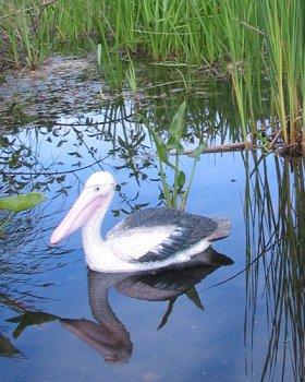 Floating Pelican