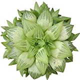 Window Haworthia Star Window Plant Succulent (6 inch)