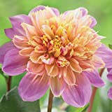 3 Bulbs Dahlia Anemone Lifestyle