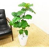 フィカス ウンベラータ ゴムの木 8号 ホワイトセラアート鉢 観葉植物 中型 大型 インテリア