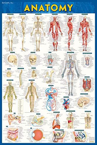 Anatomy-Laminated