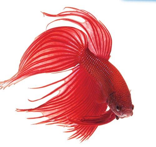 Api bettafix antibacterial antifungal betta fish for Betta fish fungal infection
