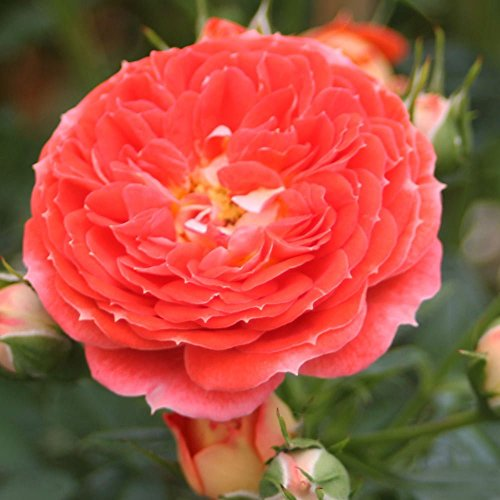 Starlet Beauty Tangerine Rose Bush Reblooming Upright Climbing Rose Grown Organic 4
