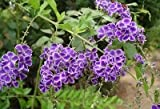 Duranta Erecta Repens Geisha Girl, Shrub Tree 20-500 Seeds, Ships From The USA!