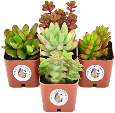 succulent-plants-5-pack-fully-rooted-2