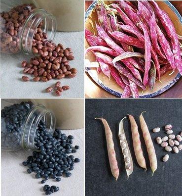 David's Garden Seeds Collection Set Bean Dry SL445 (Multi) 4 Varieties 350 Seeds (Open Pollinated, Heirloom, - Collection Bean