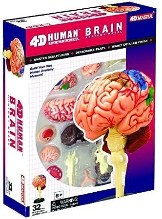 Human Brain Anatomy Model - Build your Own! 4DMaster