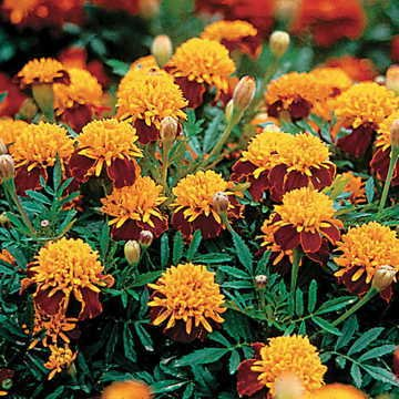 Park Seed Tiger Eyes Marigold Seeds