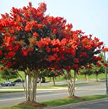 Red Rocket Crape Myrtle Seeds 50 Seeds (Lagerstroemia) Upc 646263361641 + 1 Free Plant Marker