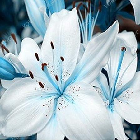 200 PCS bulbos de lirio verdadero no las semillas lirio con un olor Bonsai Planta de tiesto Bud Flor Lilium Bulbos d/ébil para jard/ín amarillo