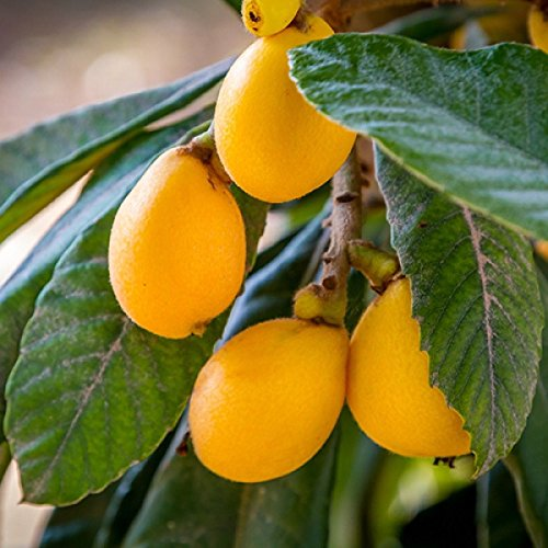 Loquat Tree Live Sweet Yellow Plum Plant 4-7 inches Tall Cold Hardy Easy-to-Grow Grown from Seeds (1) by High Desert Nursery