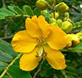 30 SENNA / ALEXANDRIAN CASSIA Angustifolia True Indian Yellow Flower Seeds