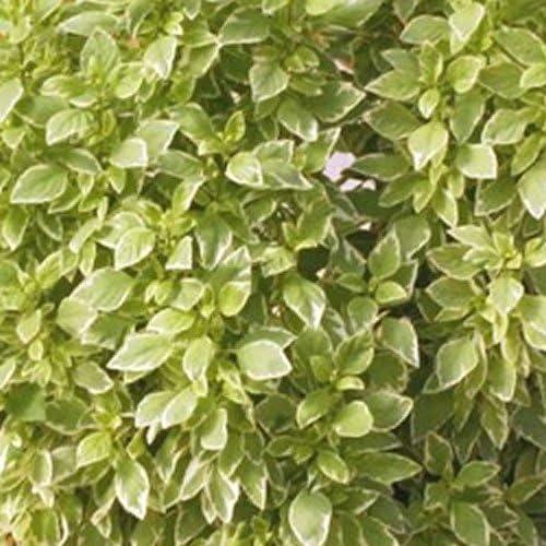 6 Basil Pesto Plug Plants *New Pack fab Cooking herb*