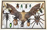 REAL Multiple INSECTS BEETLES Scorpion Cicada Bat Spider Taxidermy Collection Display in Wooden Box
