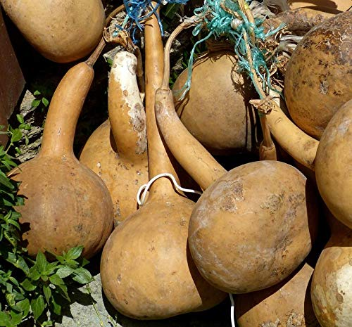 - Dipper Gourd 320 Seeds, 2 oz