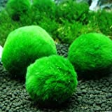 Moss Ball Green Aquarium Ornamental - World's Easiest Live Aquarium Plant - Sustainably Harvested and All-Natural