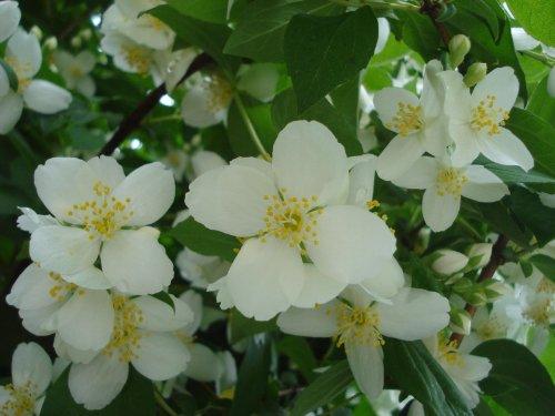 RARE Confederate Rose Jasmine 25+ seeds