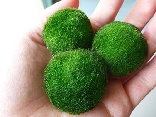3 luffy giant marimo moss balls all about betta fish tanks for Marimo moss ball