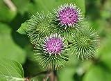 50 seeds Burdock Seeds, Grow Edible Arctium Lappa Herb Homeopathy