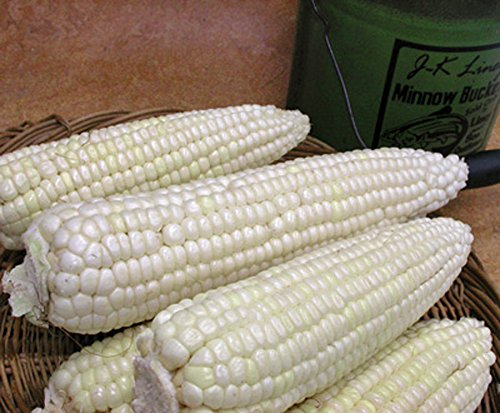 CORN, STOWELL'S EVERGREEN WHITE CORN, HEIRLOOM, ORGANIC 20 SEEDS, DELICIOUS WHITE SWEET (Organic White Corn)