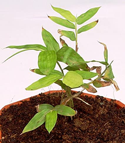 Buy 50 Nos Tissue culture Dendrocalamus asper Bamboo