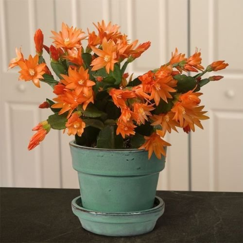 Tiger Orange Easter Cactus Cutting, Christmas Rhipsalidopsis Schlumbergera Plant by cactus.sam