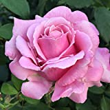 Own-Root One Gallon Memorial Day Hybrid Tea Rose by Heirloom Roses