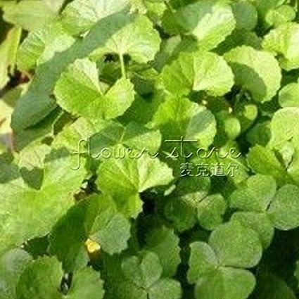 200 pcs//bag Gotu kola Seeds High Germination Rate bonsai plant home garden