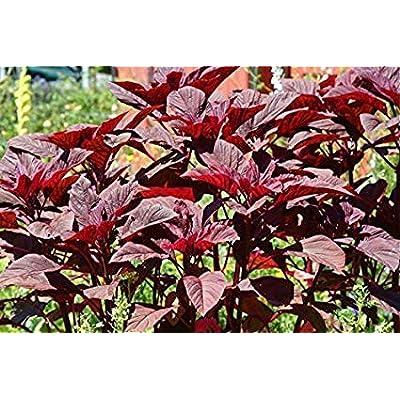 Amaranthus red chouli Jewel Seeds (avg 30-50) Seeds 7 : Garden & Outdoor