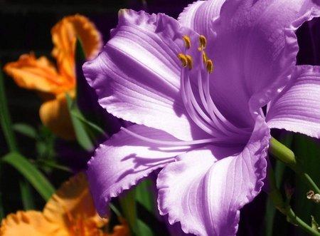 1 Bulbs, Amaryllis Bulbs, Hippeastrum, Barbados Lily, Amaryllis Flower 10MDLNR0010
