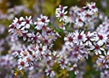 Home Comforts Peel-n-Stick Poster of Aster Cordifolius Veil Aster Aster Symphyotrichum Poster 24x16 Adhesive Sticker Poster Print