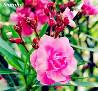100 Pcs Rare Nerium Seeds Oleander Potted Planting Seasons Flower Plants Easy Growing China Seeds Balcony Garden Decoration 5