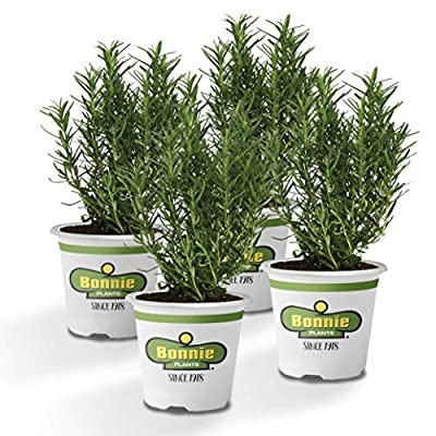 Bonnie Plants Rosemary Live Edible Aromatic Herb Plant, Great for Cooking & Grilling- 4 Pack