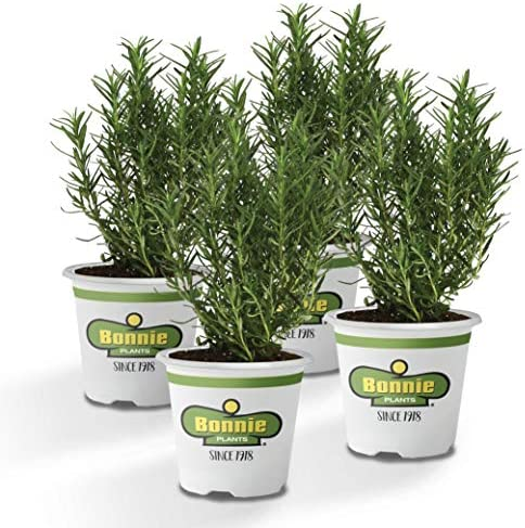 Bonnie Plants 4P5090 Rosemary 4 Pack product image