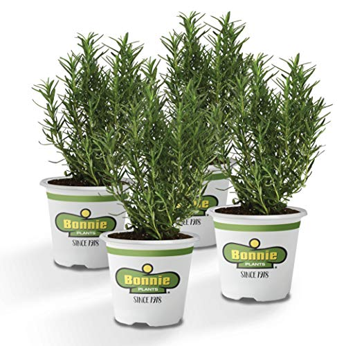Bonnie Plants 4P5090 Rosemary Live Edible Aromatic Herb Plant-4 Pack, Perennial In Zones 8 to 10 for Cooking & Grilling, Italian & Mediterranean Dishes, Vinegars & Oil