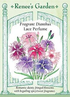 Fragrant Dianthus 'Lace Perfume'