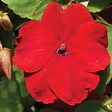 Impatiens Flower Garden Seeds - F1 Accent Series - Red - 500 Seeds - Annual Flower Gardening Seeds