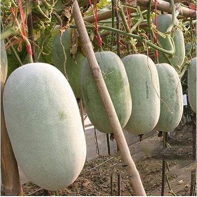 Winter Melon Seeds, Round Wax Gourd Seeds Non GMO Vegetables Seeds for Home Garden Planting : Garden & Outdoor