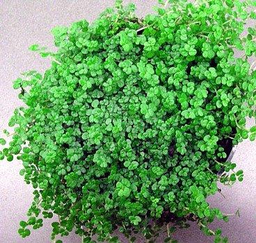 baby-tears-plant-4-pot-helxine-terrarium-fairy-garden-house-plant