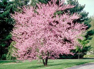 Eastern Redbud Tree 2 Year Old 4-5 Ft Tall