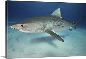"GREATBIGCANVAS Tiger Shark on White Sand Beach Canvas Wall Art Print, 60""x40""x1.5"""