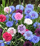 Non GMO Bulk Cornflower/Bachelor Button Seeds - 'Polka Dot Mixed' Centaurea cyanus (1/4 Lb) 22,500 Seeds