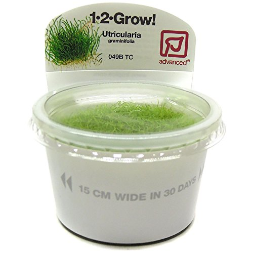 Tropica Utricularia graminifolia Live Aquarium Plant - In Vitro Tissue Culture (Grow Aquarium Plants)