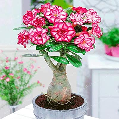 Seed - NOT Plant - Best Quality - Bonsai - Desert Rose Bonsai Potted Flowers Bonsai Adenium Obesum Indoor Bonsai Plant Mini Potted Tree for Home Garden Plant 1 Pcs - by SeedWorld - 1 PCs: Garden & Outdoor