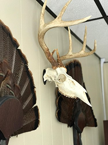 Review New Age Taxidermy Premium Turkey Fan Mount with Head Honcho European Mount