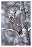 "Global Gallery DP-396907-2030 ""Tim Fitzharris Great Horned Owl Perched in Tree Dusted with Snow British Columbia"" Giclee on Paper Print"
