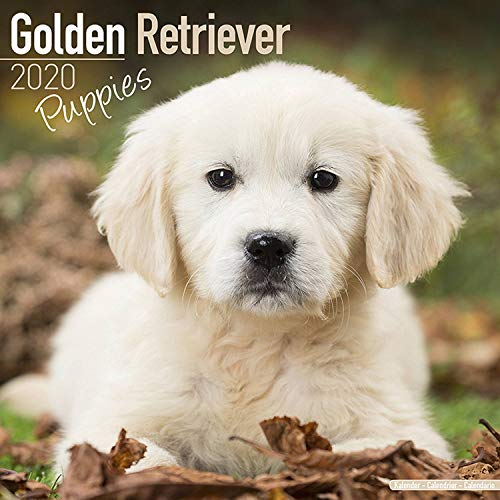 Golden Retriever Puppies Calendar - Dog Breed Calendars - 2019 - 2020 Wall Calendars - 16 Month by Avonside (Multilingual Edition)
