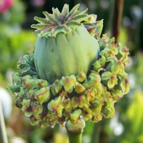 40+ Hens and Chickens Papaver Somniferum Poppy Flower Seeds / ()