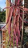 """8 cuttings 4"""" RARE Lepismium Cruciforme Rhipsalis Cruciformis Hanging Cactus Red"""
